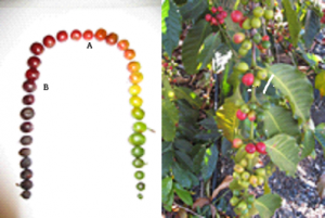 201211cherrycolorcherries.png